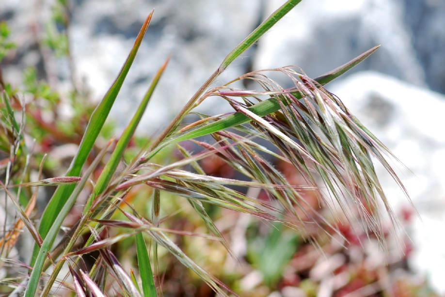Bromus tectorum subsp. tectorum 2