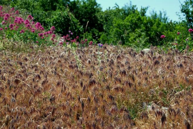 Bromus tectorum subsp. tectorum 4
