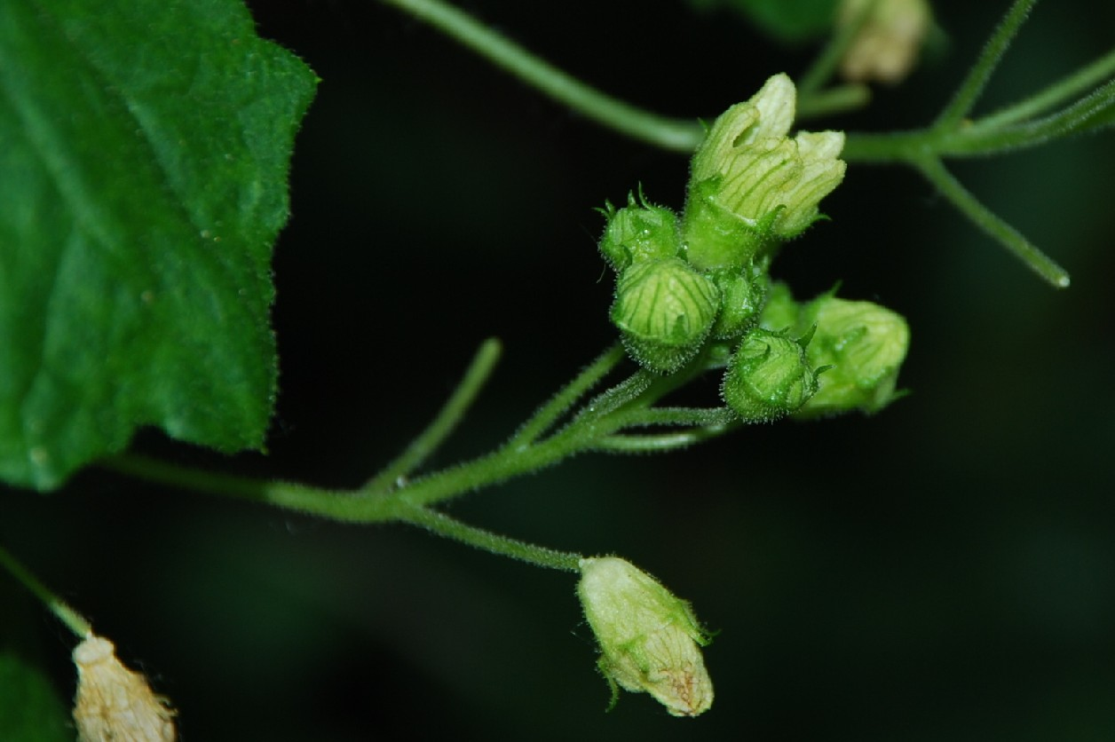 Bryonia dioica 15