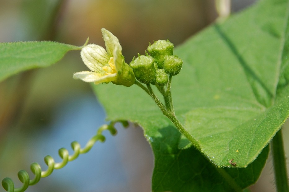 Bryonia dioica 4