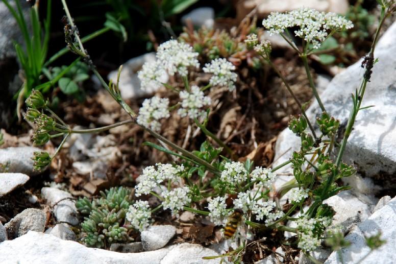 Bunium petraeum