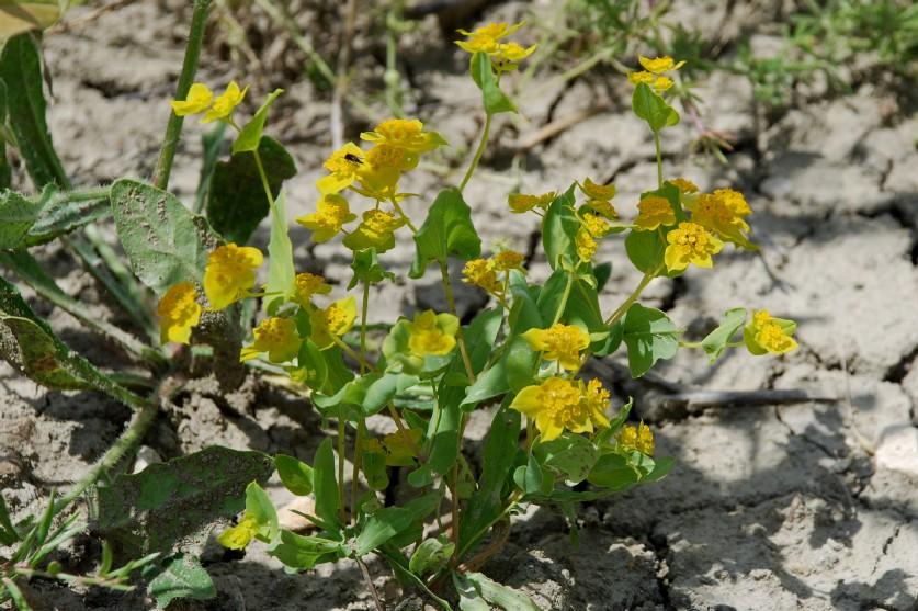 Bupleurum lancifolium 10