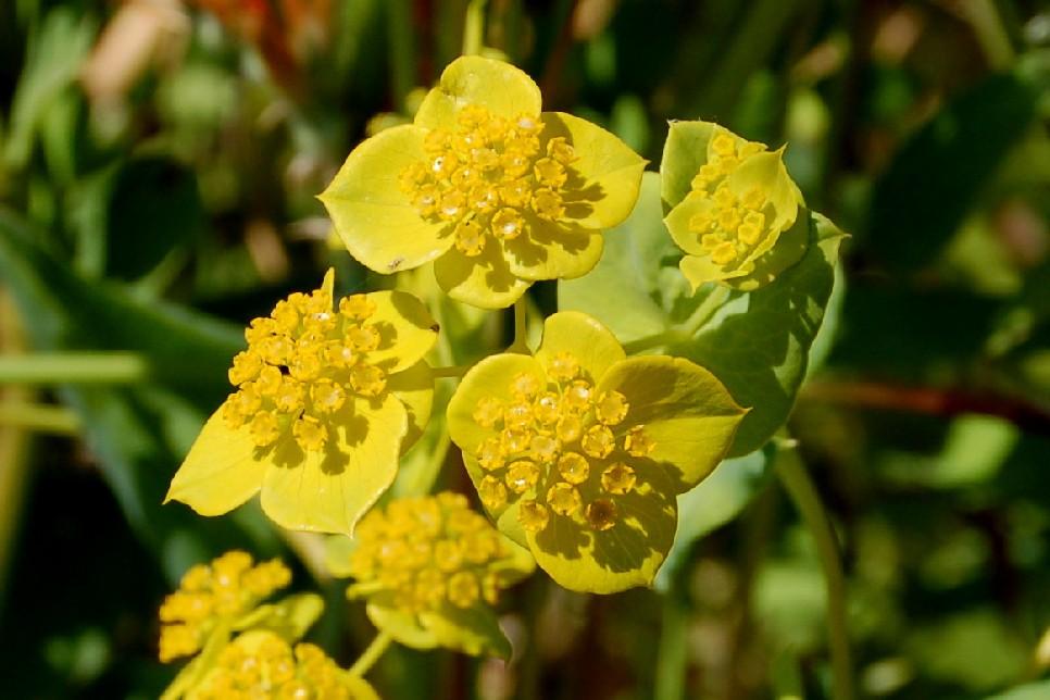 Bupleurum lancifolium 4