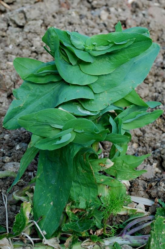 Bupleurum lancifolium 5