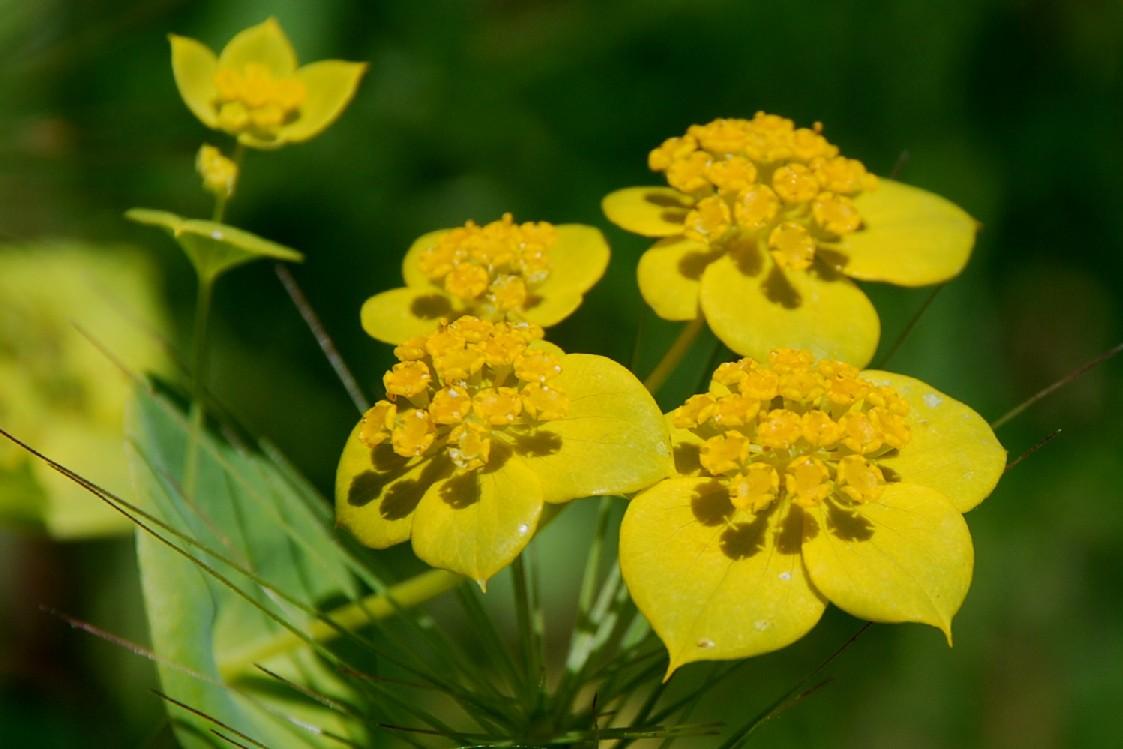 Bupleurum lancifolium 8