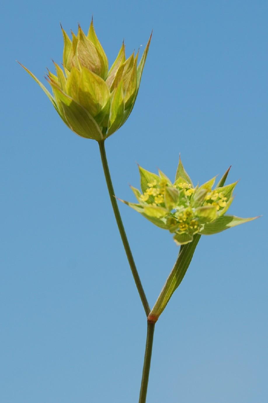 Bupleurum baldense subsp. baldense