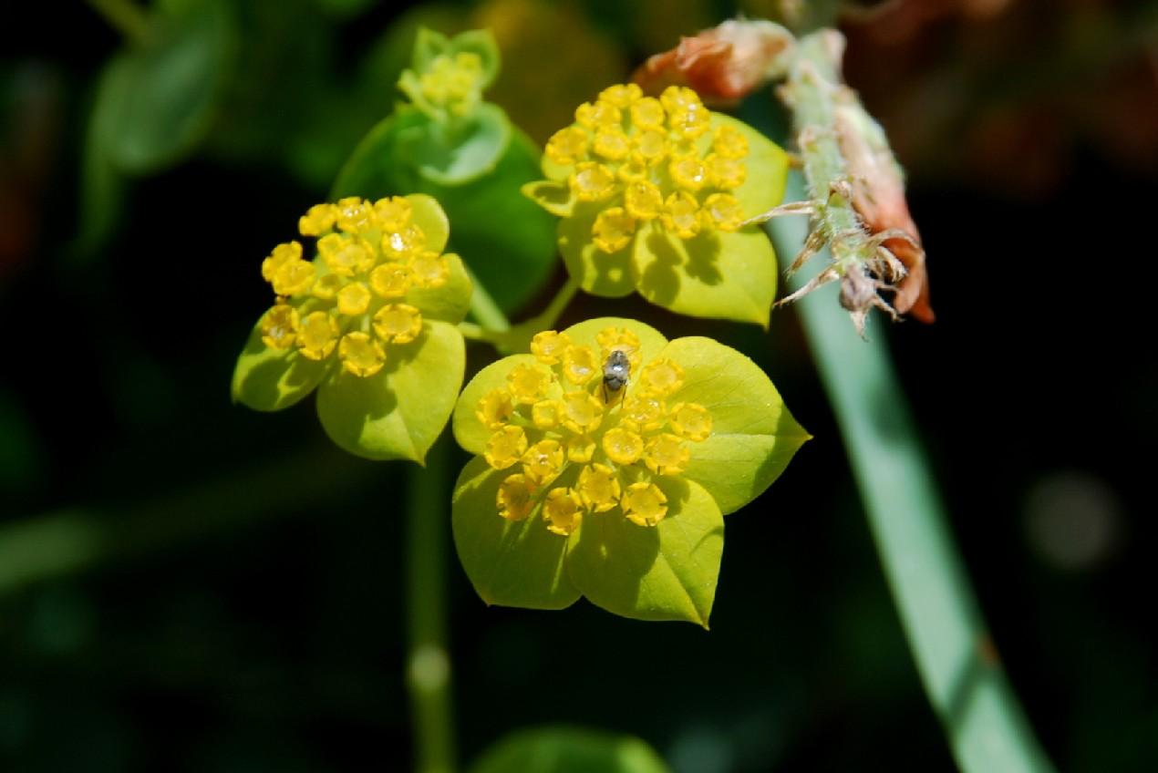Bupleurum lancifolium 16