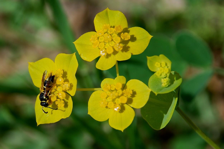 Bupleurum lancifolium 18