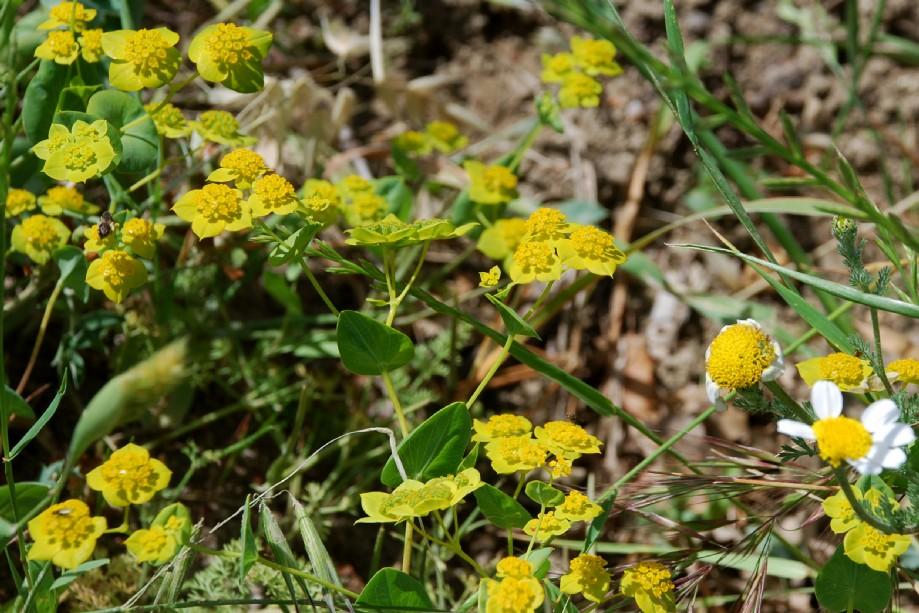Bupleurum lancifolium 19
