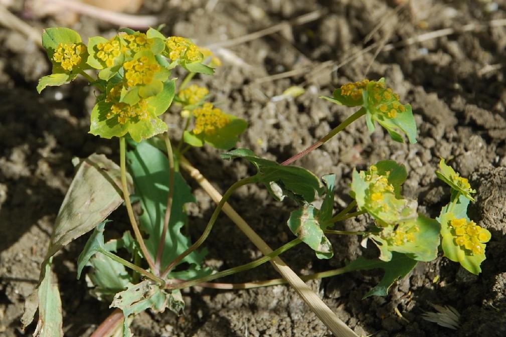 Bupleurum lancifolium 21