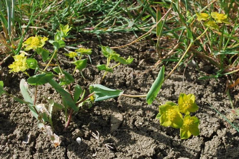 Bupleurum lancifolium 22