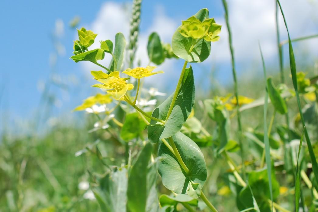Bupleurum lancifolium 25