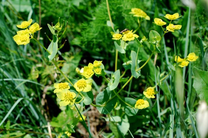 Bupleurum lancifolium 26