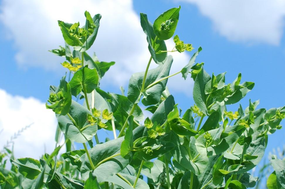 Bupleurum lancifolium 27