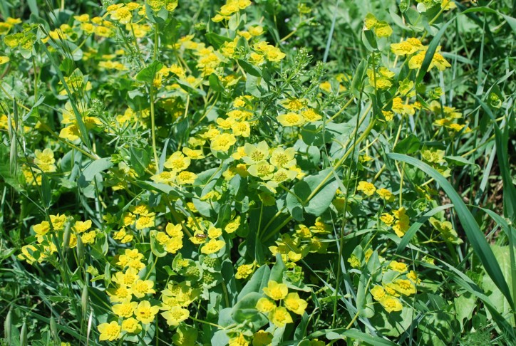 Bupleurum lancifolium 28