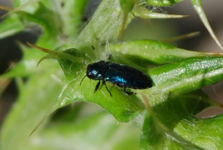 Buprestidae 1