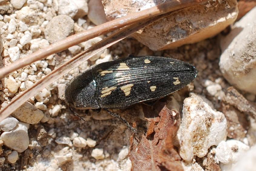 Buprestis novemmaculata - Buprestidae