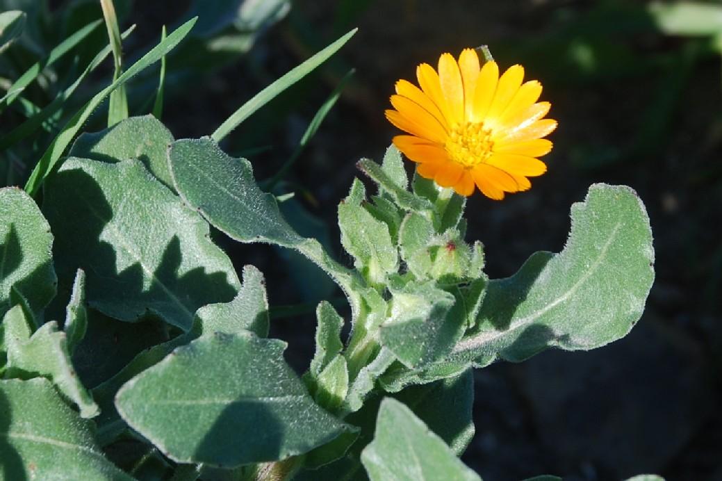Calendula arvensis 17
