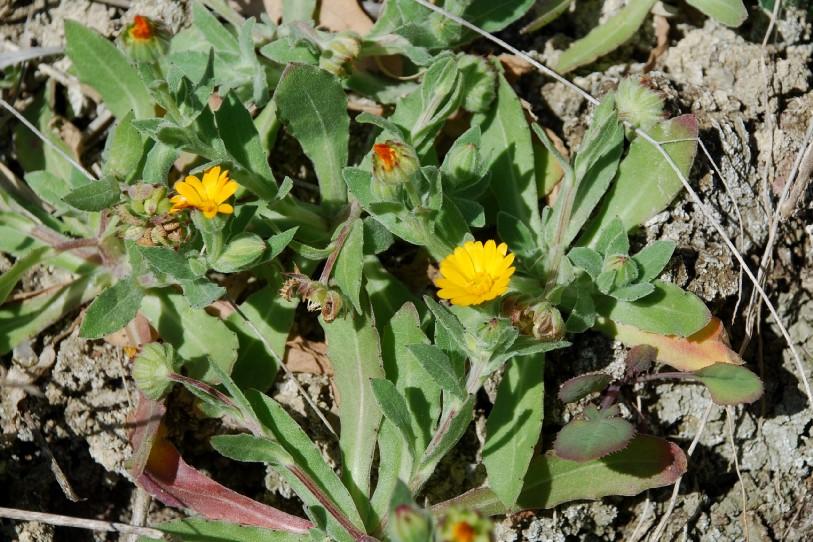 Calendula arvensis 19