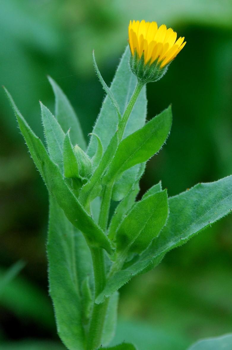 Calendula arvensis 2