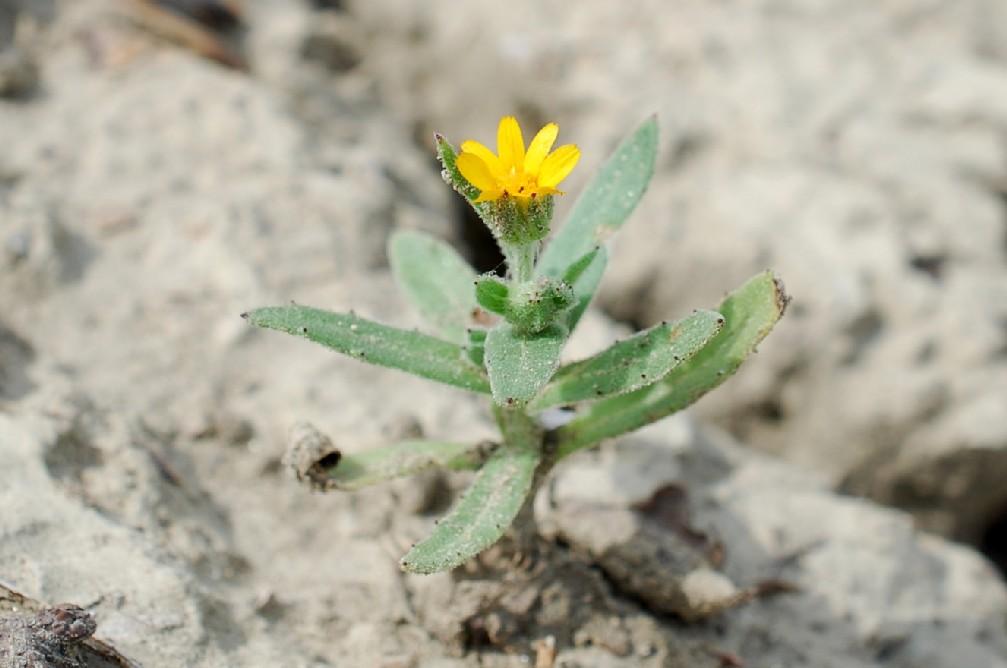 Calendula arvensis 21