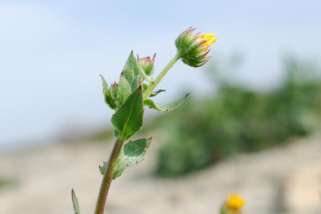 Calendula arvensis 25