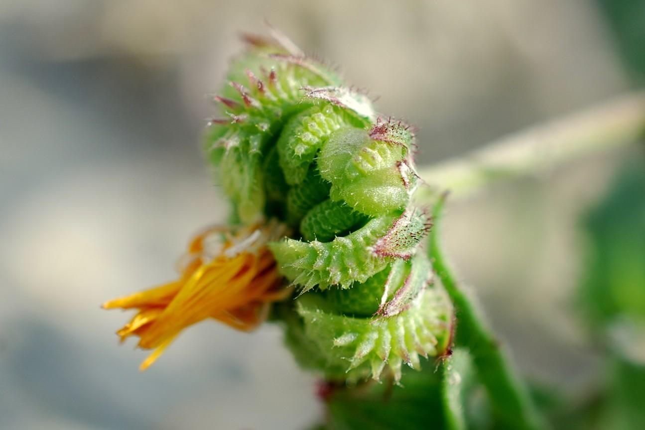 Calendula arvensis 27