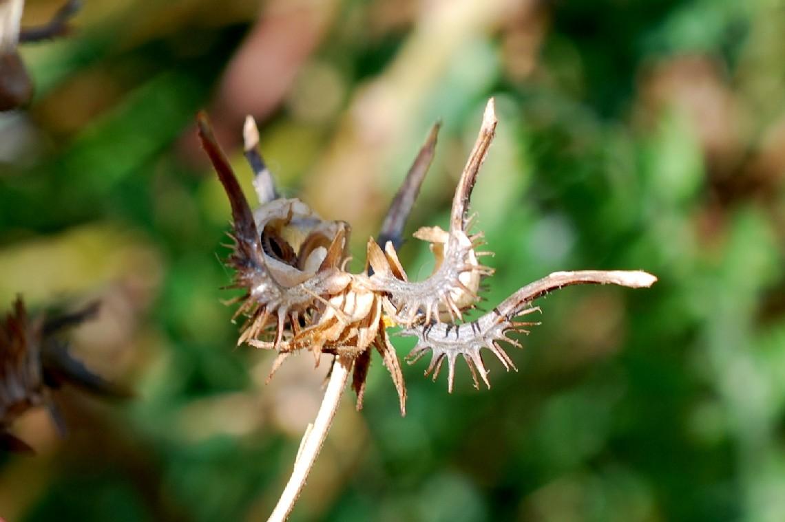 Calendula arvensis 29