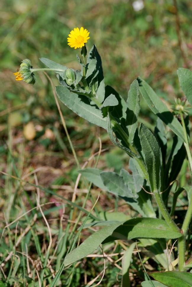 Calendula arvensis 6
