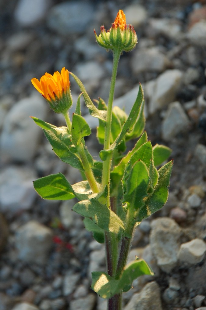 Calendula arvensis 7