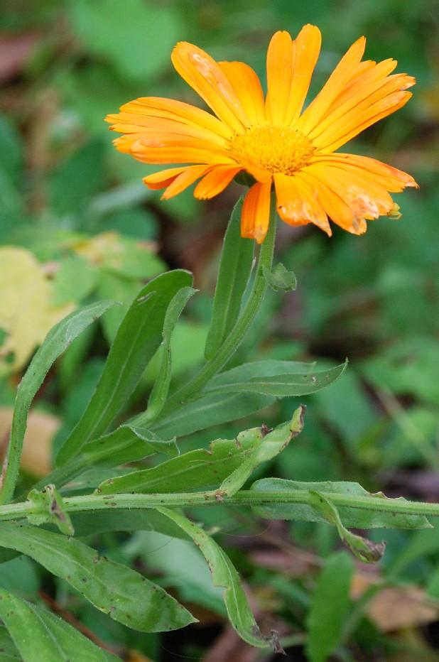 Calendula officinalis 2