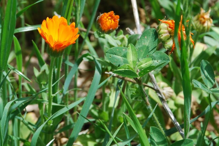 Calendula officinalis 4