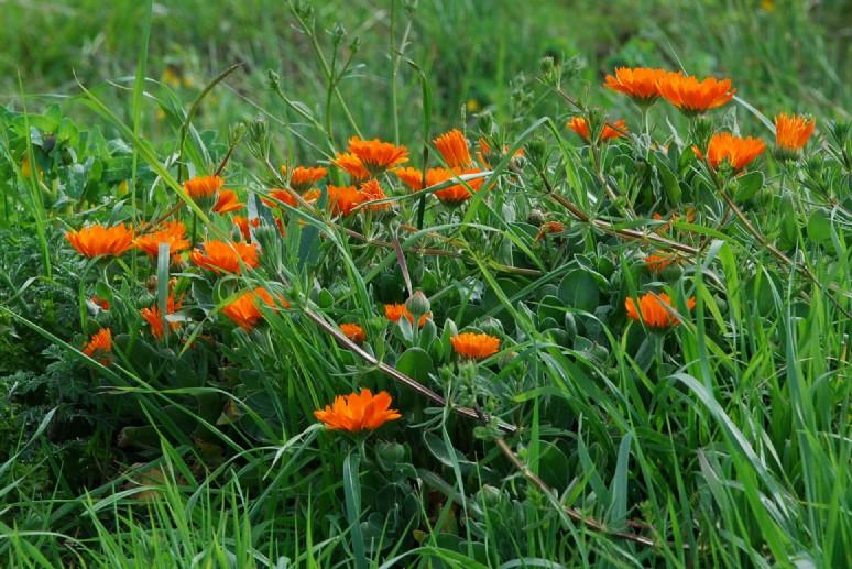 Calendula officinalis 6