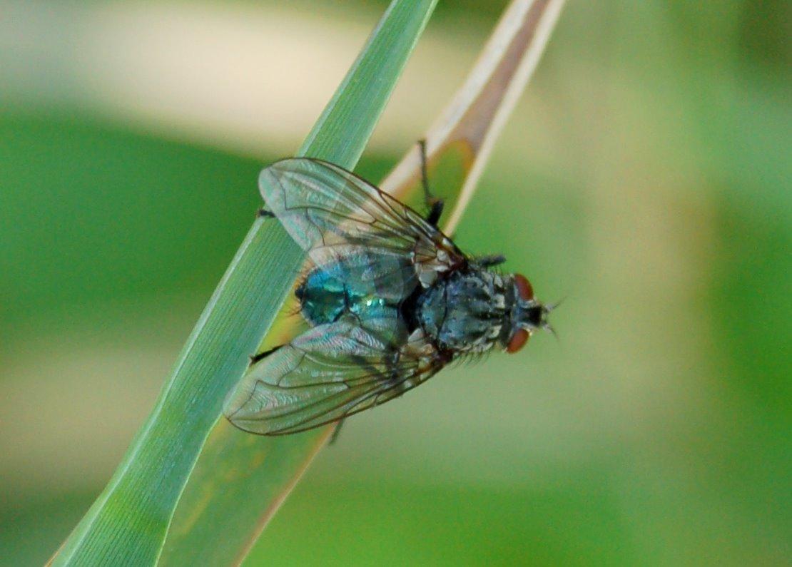 Calliphoridae