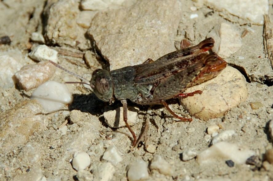 Calliptamus siciliae - Acrididae