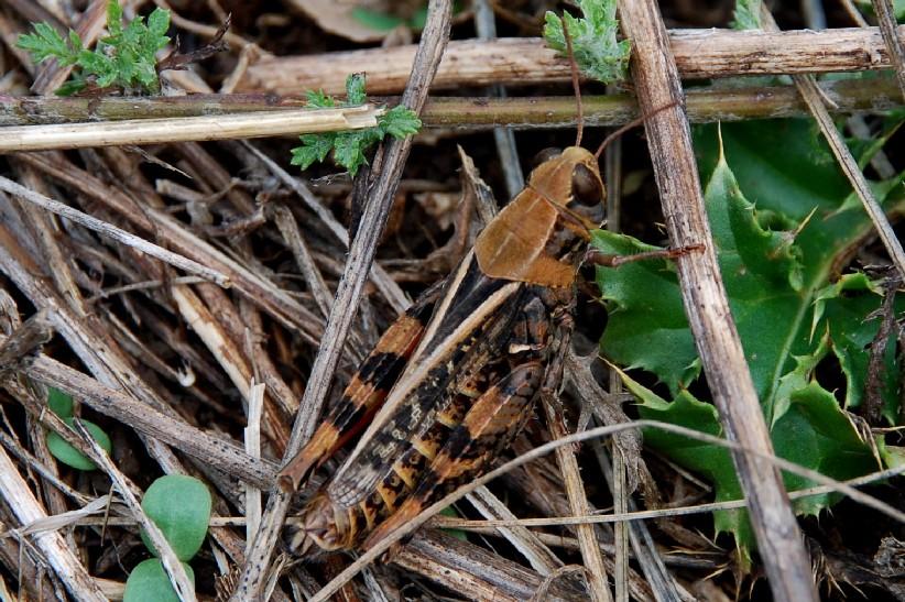 Calliptamus sp. -  Acrididae