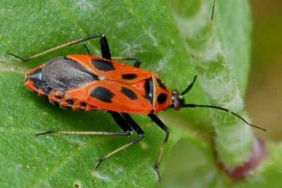 Calocoris nemoralis f. hispanica - Miridae