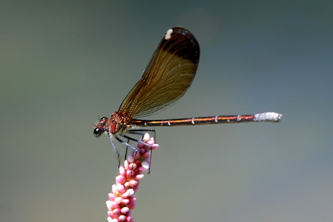 Calopteryx haemorrhoidalis - Calopterygidae(femmina)