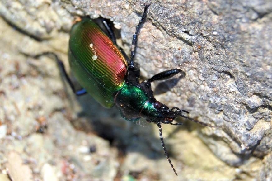 Calosoma sycophanta - Carabidae