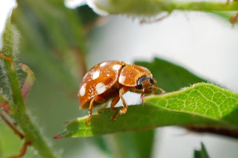 Calvia quatuordecimguttata - Coccinellidae