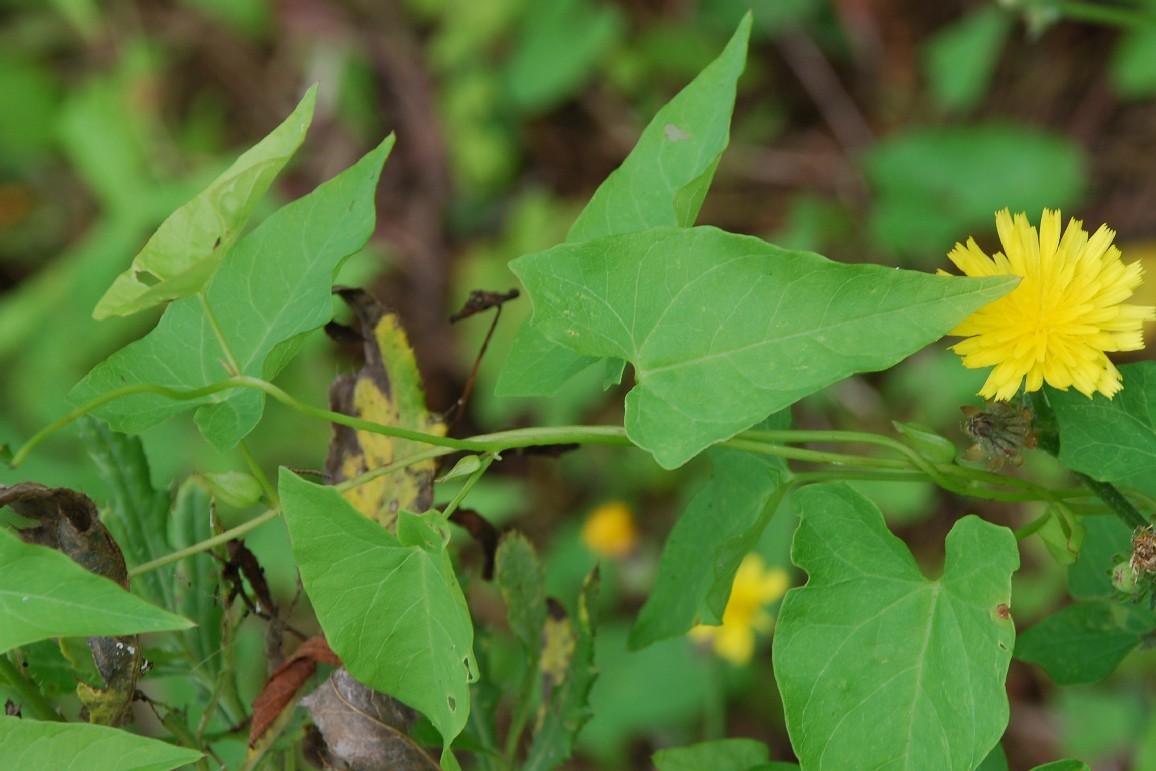 Calystegia sepium subsp. sepium 6