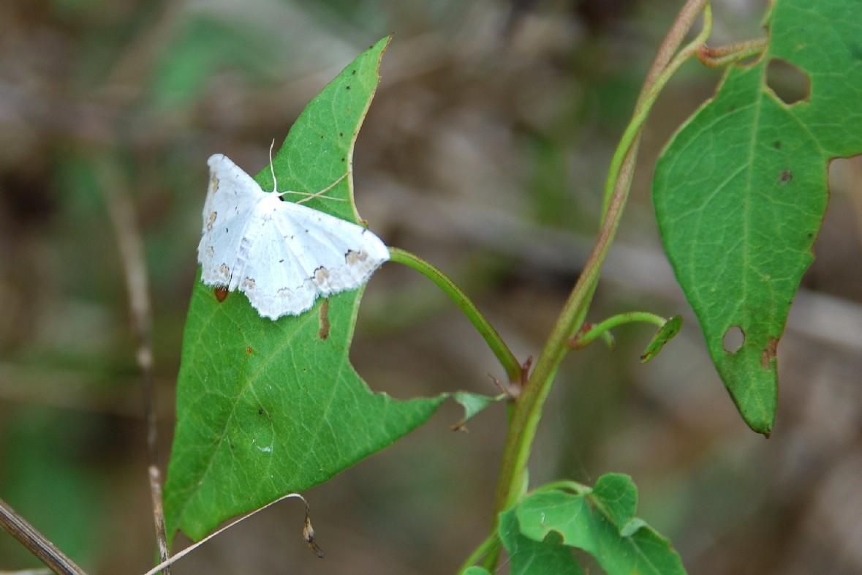 Calystegia sepium subsp. sepium 8