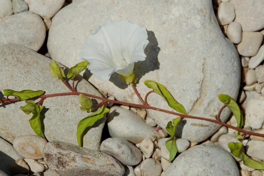 Calystegia sepium subsp. sepium 9