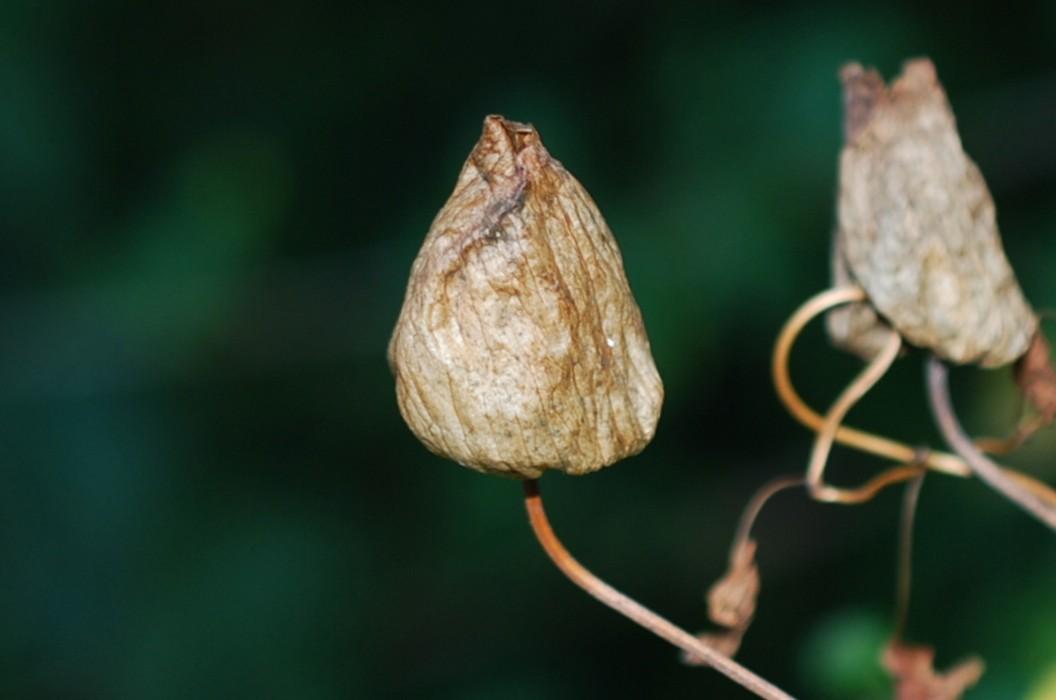 Calystegia silvatica 18