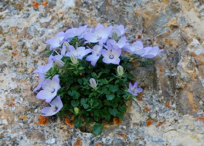Campanula fragilis subsp. cavolini