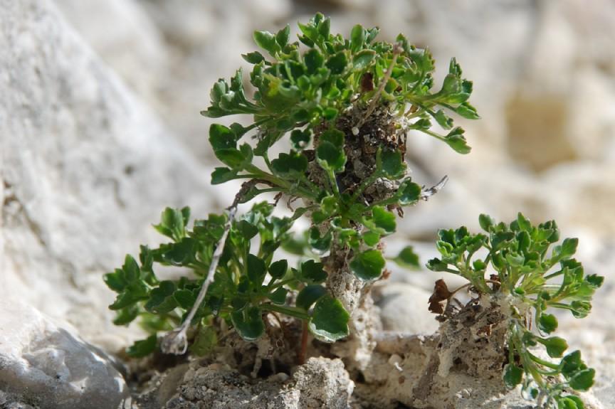 Campanula fragilis subsp. cavolini 10