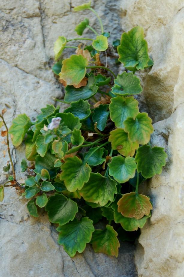 Campanula fragilis subsp. cavolini 11