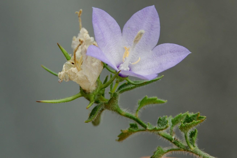 Campanula fragilis subsp. cavolini 2