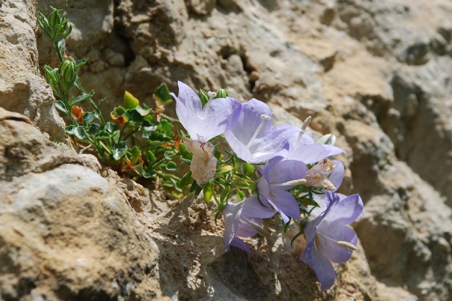 Campanula fragilis subsp. cavolini 4
