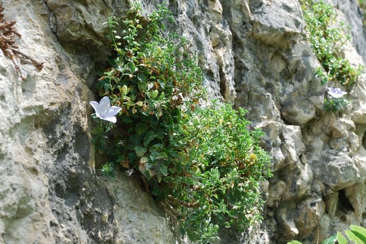 Campanula fragilis subsp. cavolini 6